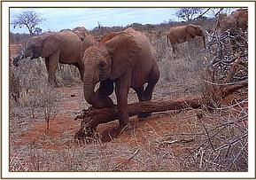 Mweya scratching against a fallen tree