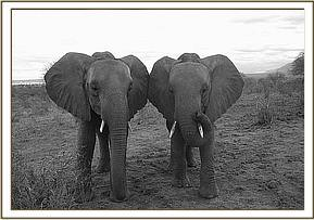 Nyiro and Tsavo standing side by side