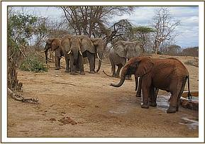 Makireti facing wild elephants