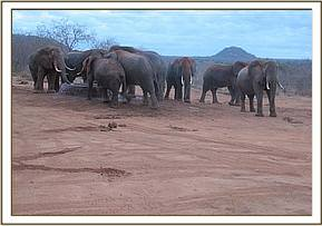 Wild elephants having a drink at the stockade
