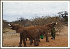 Makireti and Ishanga having milk