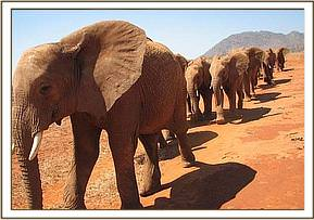 Laikipia leads the group to the waterhole