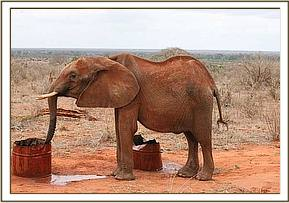 Mweiga has a drink of water