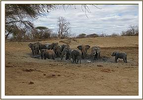 Wild elephants mudbathing