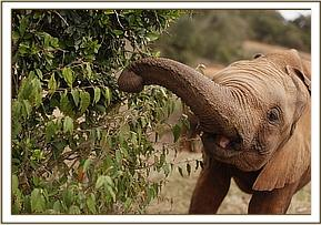 Lemoyian happily munching on green leaves