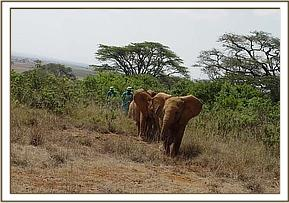 The nursery orphans walking in the bush