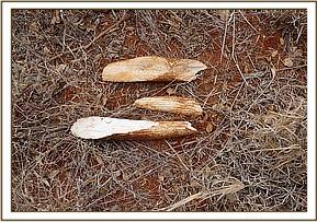 Pieces of tusk found at Mgange