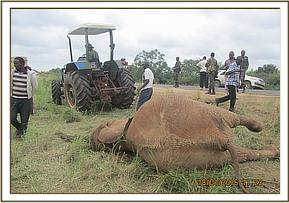 A KWS tractor pulling away the elephant carcass