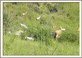 Illegal livestock grazing in the park