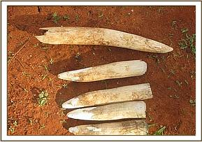 Ivory recovered at Taita Wildlife Sanctuary