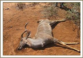 A dead lesser kudu at Lualenyi Ranch