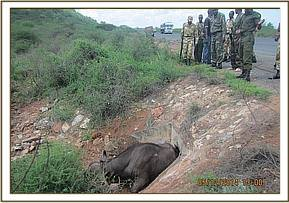 A buffalo stuck by the roadside near Tsavo river