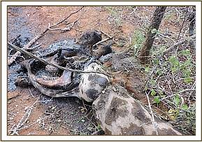 Agiraffe killed by a cable snare at Sagala