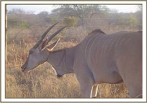 The snare can be seen around the Elands neck