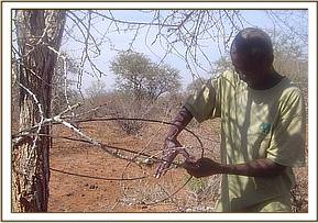 A de-snaring team member removing a snare