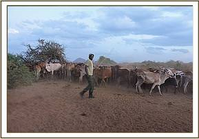 Team member evicting cows at Ndii