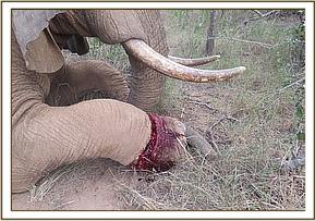 ELEPHANT TREATMENT INJURED WITH SNARE