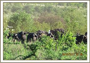 buffaloes sighted during patrol