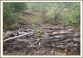 A pile of dry wood ready for charcoal burning