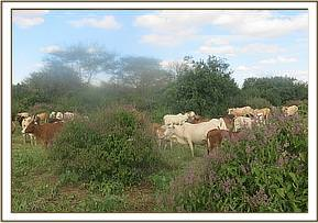 Cattle in the park, Kalovoto area