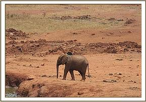 The young calf at the Kilaguni waterhole