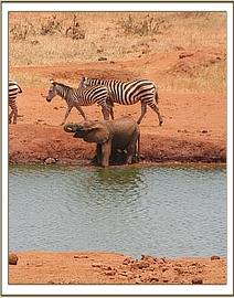 The calf having a drink alongside the Zebra