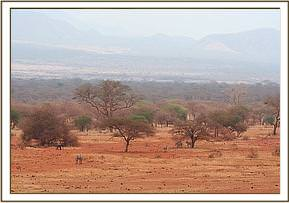 The tiny calf near the bush left of frame dwafted by the vast landscape where he now found himself entirely alone
