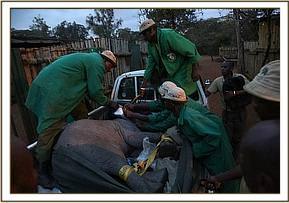 Das Kalb kommt in Nairobi an