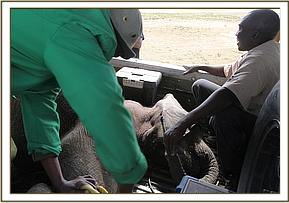 The Keepers and Dr Mijele from the Mara Vet Unit prepare to lift the orphan into the plane