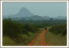 Imenti walks back to Voi with his Keepers from Tsavo West, a journey of 100 miles