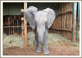 Layoni safely at the Nairobi Nursery