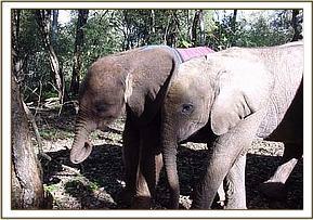 Female ♀ African Bush elephant Ol Malo at Tsavo National Park