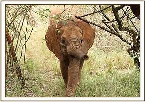 Oltaiyoni stretches out her trunk in greeting