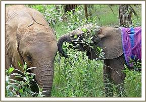 Sunyei is very gentle and tender with the new calf