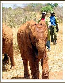 Sweet Sally with keepers in Tsavo