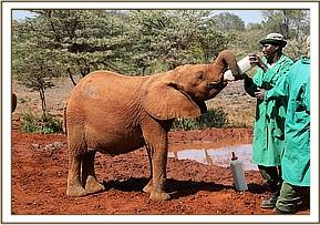 Female ♀ African Bush elephant (Loxodonta africana) Sagala at David Sheldrick Wildlife Trust Nairobi nursery