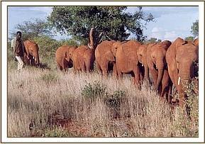 Ajok with the Tsavo herd