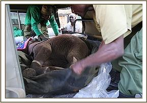 The calf arrives at the Nairobi Nursery