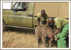 The orphaned calf rescued by our team at Mgeno Ranch