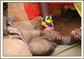 The calf is hed down by the Samburu herdsmen that found him while the keepers prepare the calf for the filght