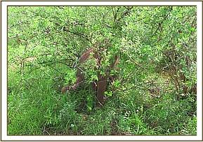 Tundani hides in a bush