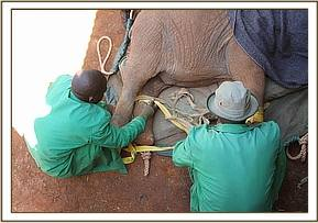 The calf is placed in the training stockade in Nairobi