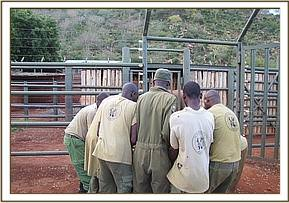 Off loading the calf at the Voi stockade