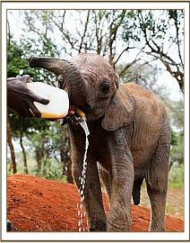 Musiara having milk