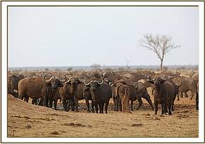 Tsavo's big herds of buffalos, those lucky enough to survive last years drought