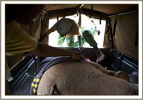 Kandecha loaded into the back of the pickup vehicle