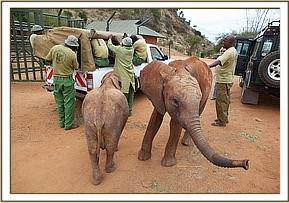 The orphaned baby is taken to over night at the Voi stockades with a couple of the Voi orphans looking on