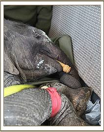 The little calf sleeps on the flight with a teat placed in his mouth as a comforter