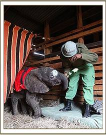 Little Mumbushi with Abdi safe in his stable at the Nairobi nursery