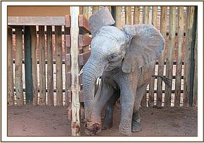 Mbirikani with snare wound injuries on front leg